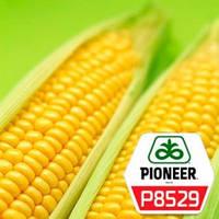 Семена кукурузы   Р8529