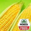 Семена кукурузы  Р8816 с премиальною обработкай