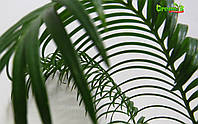 Цикасовая пальма