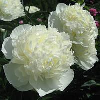 Пион травянистый Duchesse de Nemours