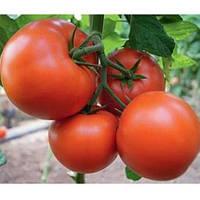 Семена томата Бостина F1 (500 сем.)