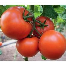 Насіння томату Бостина F1 (500 сем.) Syngenta