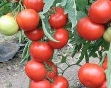 Насіння томату Квалітет (Т97082) F1 (500 сем.) Syngenta