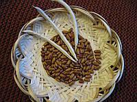 Квасоля сорт Дар
