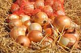 Семена лука репчатого Спениш Медальон F1 (250 000 сем.) Sakata, фото 2