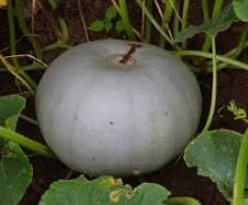 Семена тыквы Волжский Серый 1 кг