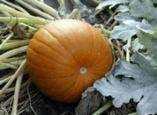 Семена тыквы Витаминный 1 кг