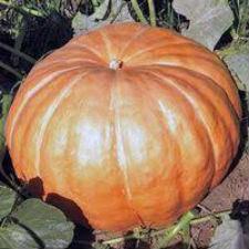 Семена тыквы Добрыня 1 кг