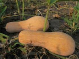 Семена тыквы Новинка 1 кг