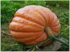 Семена тыквы Стофунтовый 1 кг