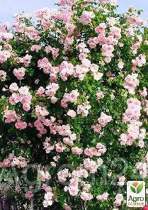 """Роза плетистая """"Нью Даун"""" (саженец класса АА+) высший сорт - Vesna-Agro в Одессе"""