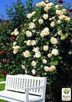 """Роза английская плетистая """"Перпешуали Йорс"""" (саженец класса АА+) высший сорт"""