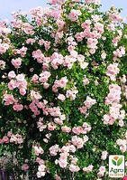 "Роза плетистая ""Нью Даун"" (саженец класса АА+) высший сорт"