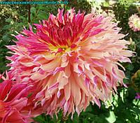 Георгина декоративная Myrtle's Folly. крупноцветковая, фото 1