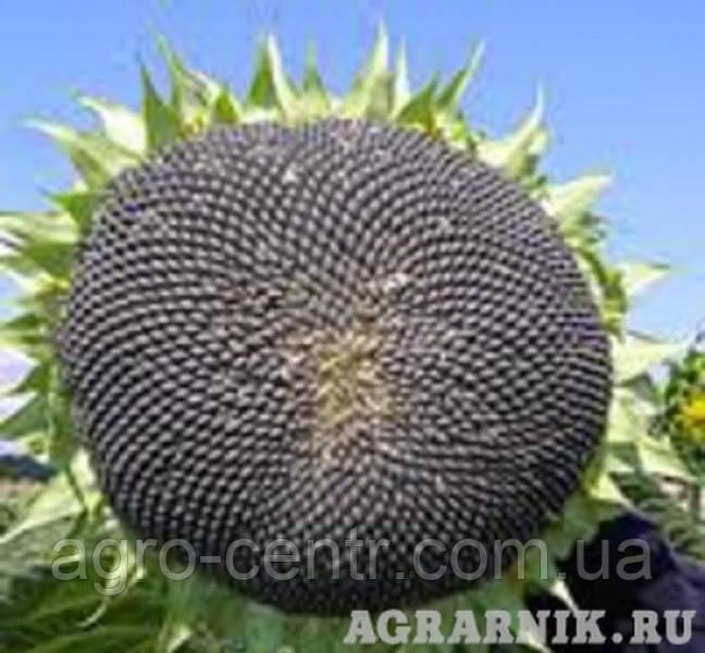 Семена подсолнуха Флоримис (под Евролайтинг)