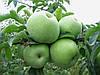 Саджанці яблуні РЕНЕТ СИМИРЕНКО (дворічний) зимового терміну дозрівання