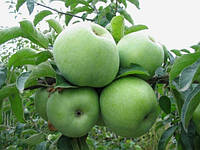 Саджанці яблуні РЕНЕТ СИМИРЕНКО (дворічний) зимового терміну дозрівання, фото 1