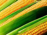 Семена кукурузы Латизана (Яблуком)