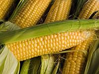 Семена кукурузы Солонянский (Яблуком)