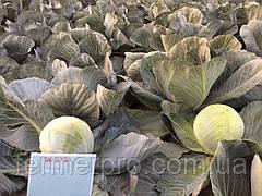 Семена капусты Раменос F1 2500 калиброванных семян Hazera