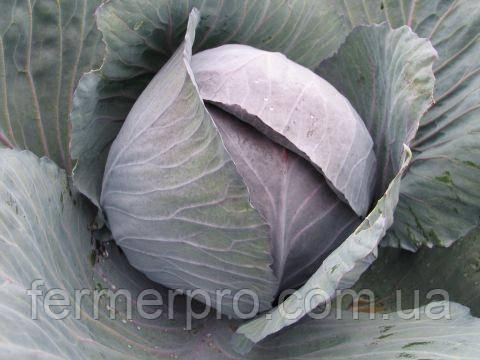 Семена капусты краснокочанной Романов F1 2500 семян Hazera