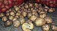 Рів'єра (насіннєва картопля) Житомир II репродукція Самовивіз зі складу Мелітополь, відправка по передоплаті, фото 7