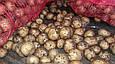 Рів'єра (насіннєва картопля) Житомир II репродукція Самовивіз зі складу Мелітополь, відправка по передоплаті, фото 10