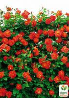 """Роза плетистая """"Закат солнца"""" (Sunset) (саженец класса АА+) высший сорт"""