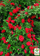 "Роза плетистая ""Пол скарлет клаймер"" (саженец класса АА+) высший сорт"