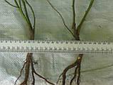 Сеянцы шиповник  Донецкий безшипный, Rosa canina(подвой для роз) 8-12мм, фото 2