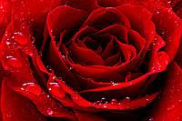 """Шпалери флізелінові """"Троянда"""""""