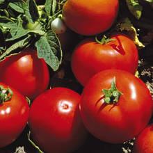 Семена томата Лоджейн F1 (500 сем.)