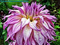 Георгина декоративная Snoho Diane(Снохо Диана). крупноцветковая, фото 1