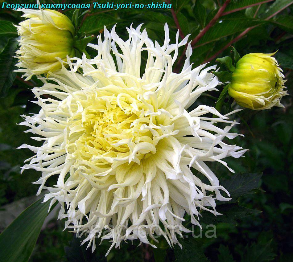 Георгина декоративная Tsuki-yori-noshisha крупноцветковая