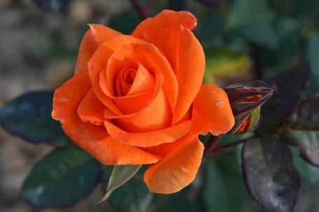 Чайно гибридная роза Корвет ( саженцы ), фото 2