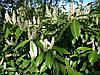 Лавровишня лікарська 2 річна, Лавровишня лекарственная, Prunus laurocerasus, фото 2