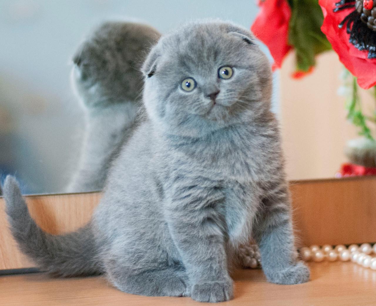 Вислоухие шотландские коты цена