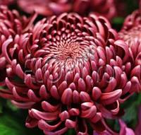 Хризантема крупноцветковая ГИЛБЕРТ срезочная