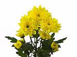 Хризантема срезочная ЗЕМБЛА лимон, фото 4