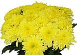 Хризантема срезочная ЗЕМБЛА лимон, фото 3