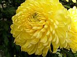 Хризантема срезочная ЗЕМБЛА лимон, фото 5