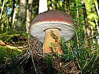 Мицелий Белый гриб еловый, Boletus edulis