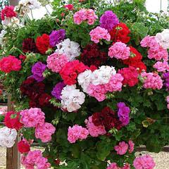 Элитные семена цветов и декоративных растений