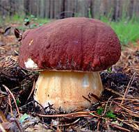Мицелий (грибница) БЕЛОГО ГРИБА СОСНОВОГО маточный зерновой биологически высушенный