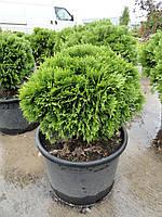 Туя западная Даника (Thuja occidentalis Danica)