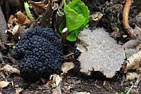 Мицелий Трюфель чёрный, Tuber melansporum