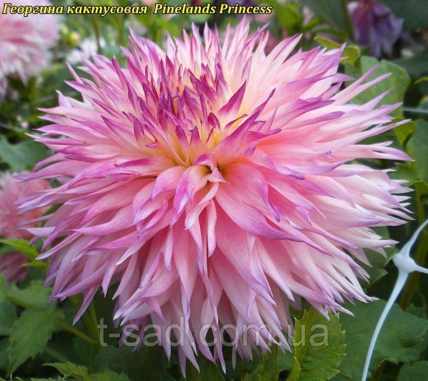 Георгина кактусовая Pinelands Princess(Пайнленд Принцесс)