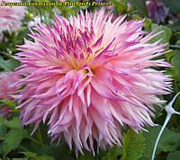 Георгина кактусовая Pinelands Princess(Пайнленд Принцесс), фото 1