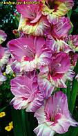 Гладиолус Andrews. крупноцветковый