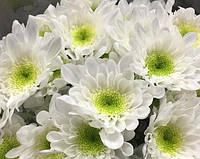 Хризантема  веточная РАДОСТЬ БЕЛАЯ, фото 1